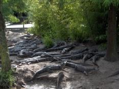Barefoot Landing - Alligator Adventure